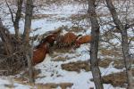 Dead cattle lay along the rim.