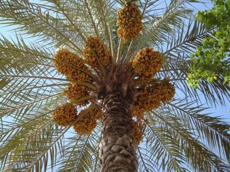 iraq date tree