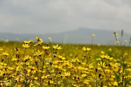 ethiopian new year meskel-flowers